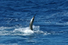 Sport Fishing Ocotal -  Sailfish