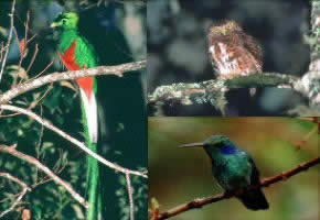Some birds of Savegre Cloud forest