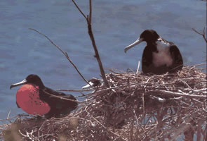 Bolaños Island is the only nesting grounds for the frigatebird.