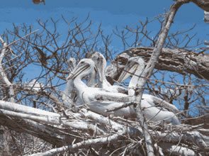 Nesting colony of brown pelicans (pelecanus occidentalis)