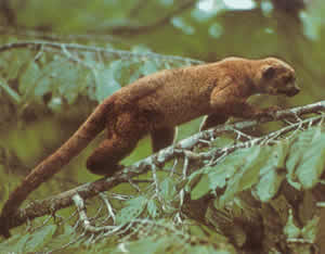 Kinkajou is a very difficult mammal to see, its habitat is mainly nocturnal.