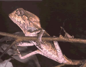 The chamaleon (Corytophanes Cristatus) is on of the rare species in the refuge